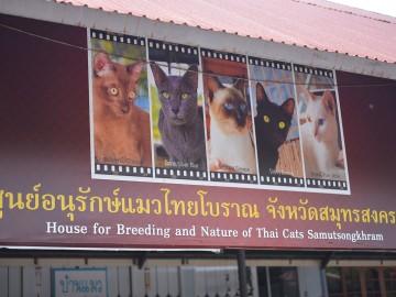อาสาอนุรักษ์แมวไทยโบราณ